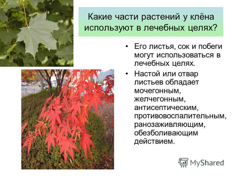 Какие части растений у клёна используют в лечебных целях? Его листья, сок и побеги могут использоваться в лечебных целях. Настой или отвар листьев обладает мочегонным, желчегонным, антисептическим, противовоспалительным, ранозаживляющим, обезболивающ