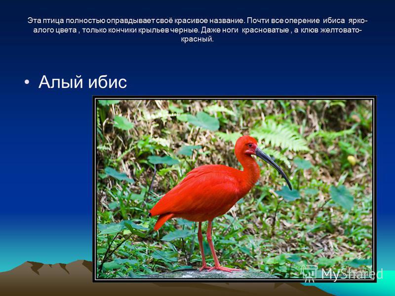 Эта птица полностью оправдывает своё красивое название. Почти все оперение ибиса ярко- алого цвета, только кончики крыльев черные. Даже ноги красноватые, а клюв желтовато- красный. Алый ибис