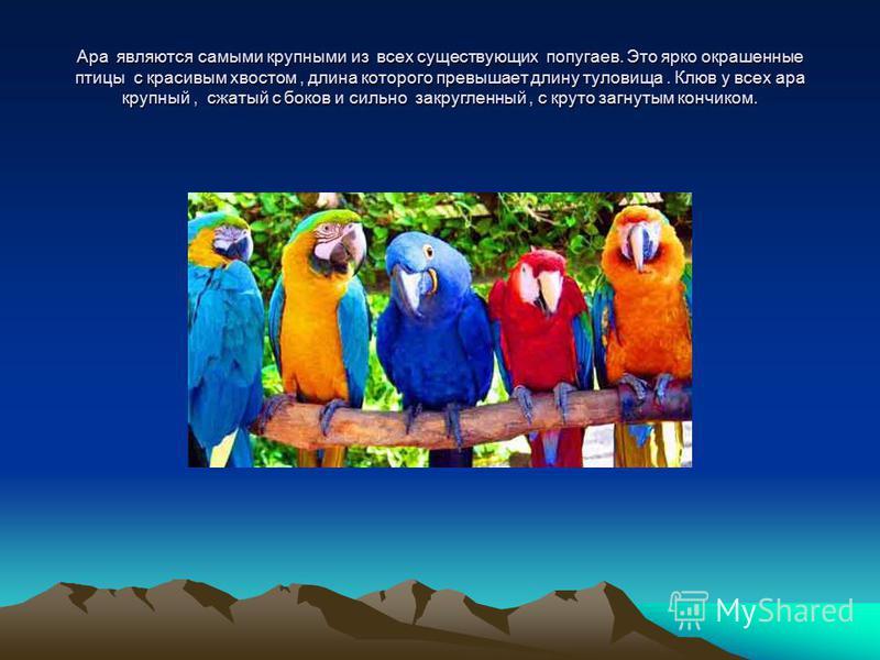 Ара являются самыми крупными из всех существующих попугаев. Это ярко окрашенные птицы с красивым хвостом, длина которого превышает длину туловища. Клюв у всех ара крупный, сжатый с боков и сильно закругленный, с круто загнутым кончиком.