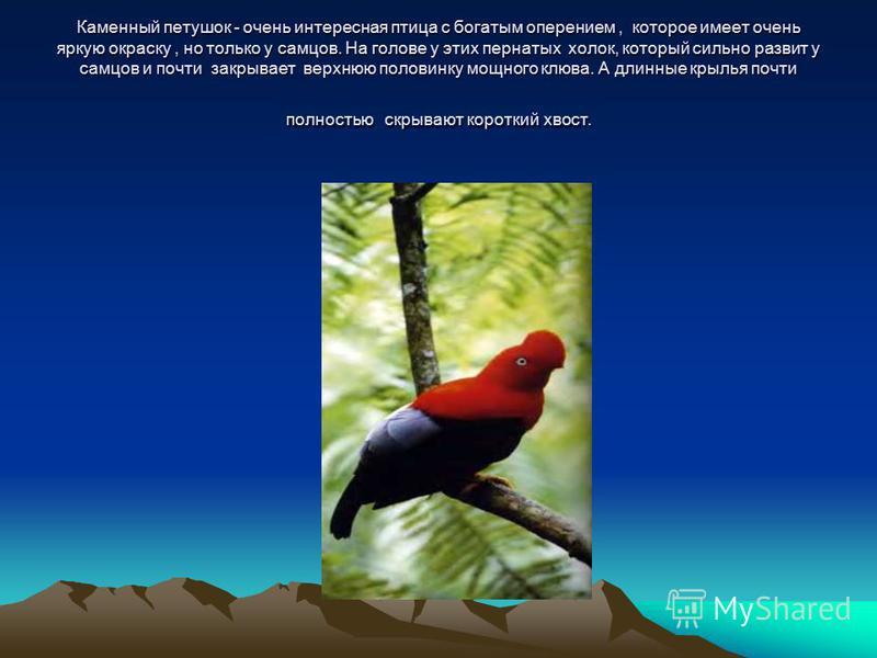 Каменный петушок - очень интересная птица с богатым оперением, которое имеет очень яркую окраску, но только у самцов. На голове у этих пернатых холок, который сильно развит у самцов и почти закрывает верхнюю половинку мощного клюва. А длинные крылья