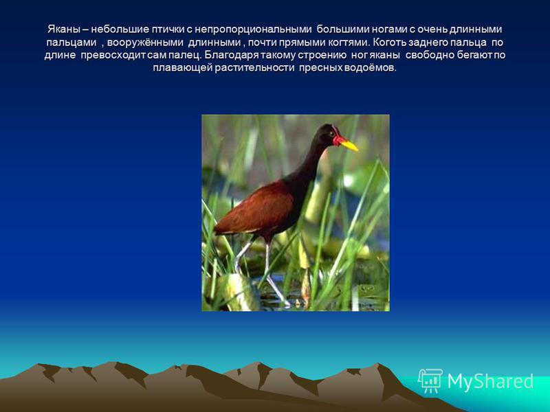 Яканы – небольшие птички с непропорциональными большими ногами с очень длинными пальцами, вооружёнными длинными, почти прямыми когтями. Коготь заднего пальца по длине превосходит сам палец. Благодаря такому строению ног яканы свободно бегают по плава