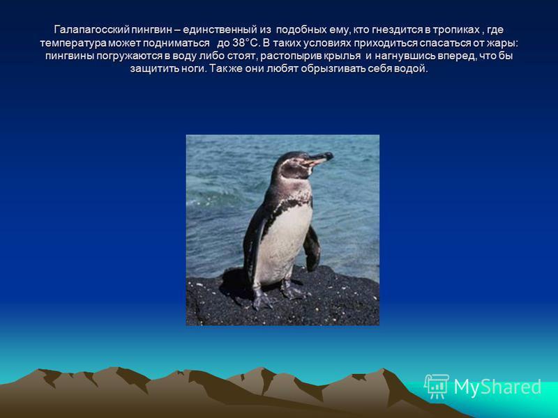 Галапагосский пингвин – единственный из подобных ему, кто гнездится в тропиках, где температура может подниматься до 38°С. В таких условиях приходиться спасаться от жары: пингвины погружаются в воду либо стоят, растопырив крылья и нагнувшись вперед,
