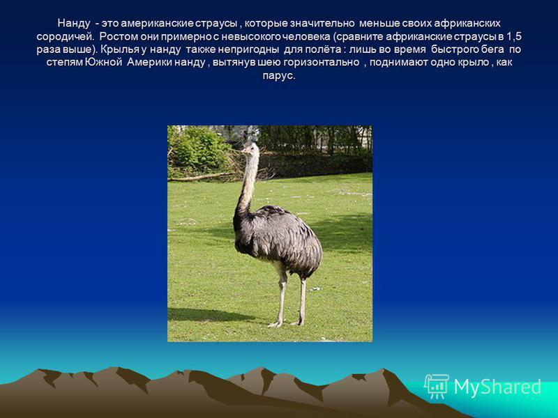 Нанду - это американские страусы, которые значительно меньше своих африканских сородичей. Ростом они примерно с невысокого человека (сравните африканские страусы в 1,5 раза выше). Крылья у нанду также непригодны для полёта : лишь во время быстрого бе