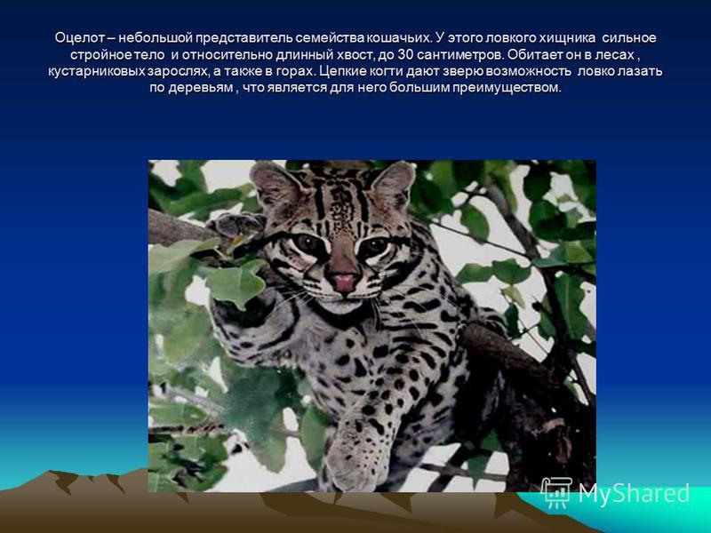 Оцелот – небольшой представитель семейства кошачьих. У этого ловкого хищника сильное стройное тело и относительно длинный хвост, до 30 сантиметров. Обитает он в лесах, кустарниковых зарослях, а также в горах. Цепкие когти дают зверю возможность ловко