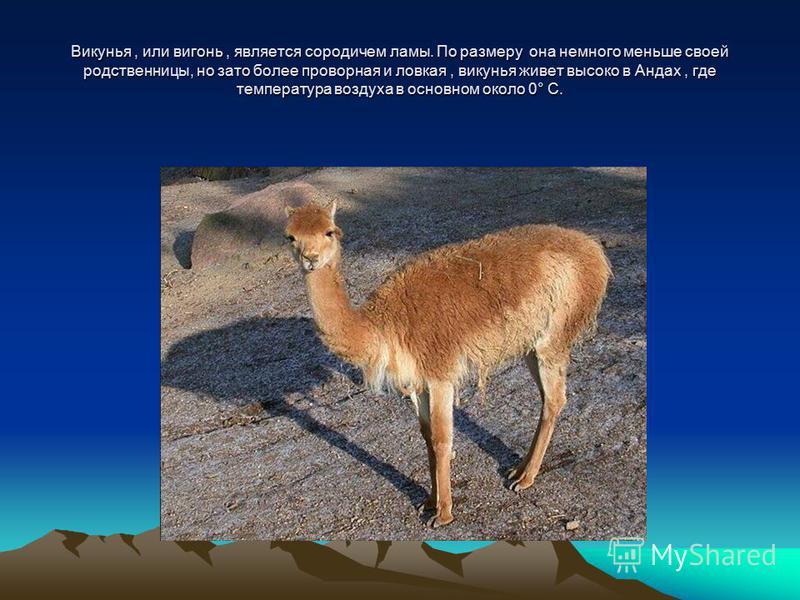 Викунья, или вигонь, является сородичем ламы. По размеру она немного меньше своей родственницы, но зато более проворная и ловкая, викунья живет высоко в Андах, где температура воздуха в основном около 0° С.