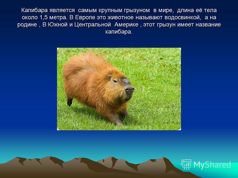 Капибара является самым крупным грызуном в мире, длина её тела около 1,5 метра. В Европе это животное называют водосвинкой, а на родине, В Южной и Центральной Америке, этот грызун имеет название капибара.