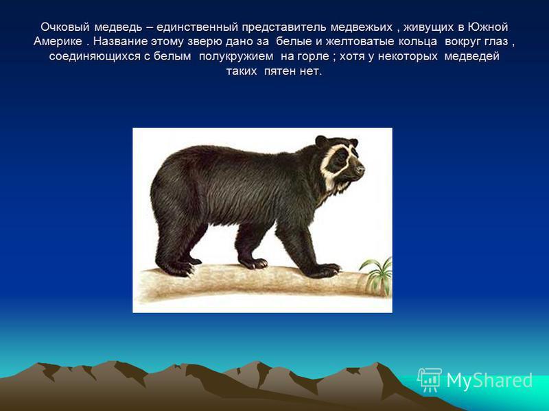 Очковый медведь – единственный представитель медвежьих, живущих в Южной Америке. Название этому зверю дано за белые и желтоватые кольца вокруг глаз, соединяющихся с белым полукружием на горле ; хотя у некоторых медведей таких пятен нет.