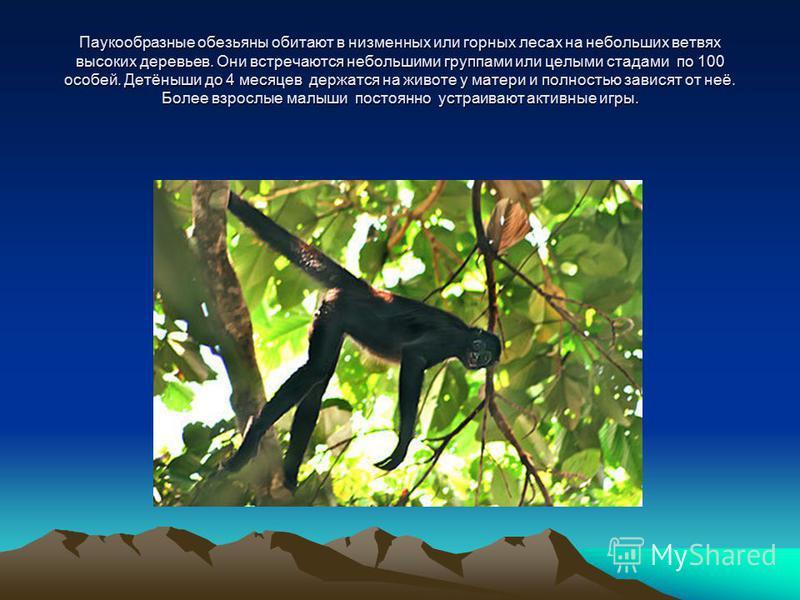 Паукообразные обезьяны обитают в низменных или горных лесах на небольших ветвях высоких деревьев. Они встречаются небольшими группами или целыми стадами по 100 особей. Детёныши до 4 месяцев держатся на животе у матери и полностью зависят от неё. Боле