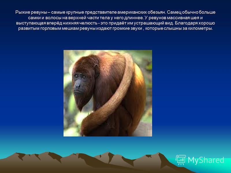 Рыжие ревуны – самые крупные представителе американских обезьян. Самец обычно больше самки и волосы на верхней части тела у него длиннее. У ревунов массивная шея и выступающая вперёд нижняя челюсть - это придаёт им устрашающий вид. Благодаря хорошо р
