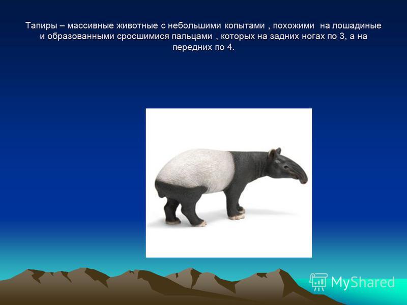 Тапиры – массивные животные с небольшими копытами, похожими на лошадиные и образованными сросшимися пальцами, которых на задних ногах по 3, а на передних по 4.