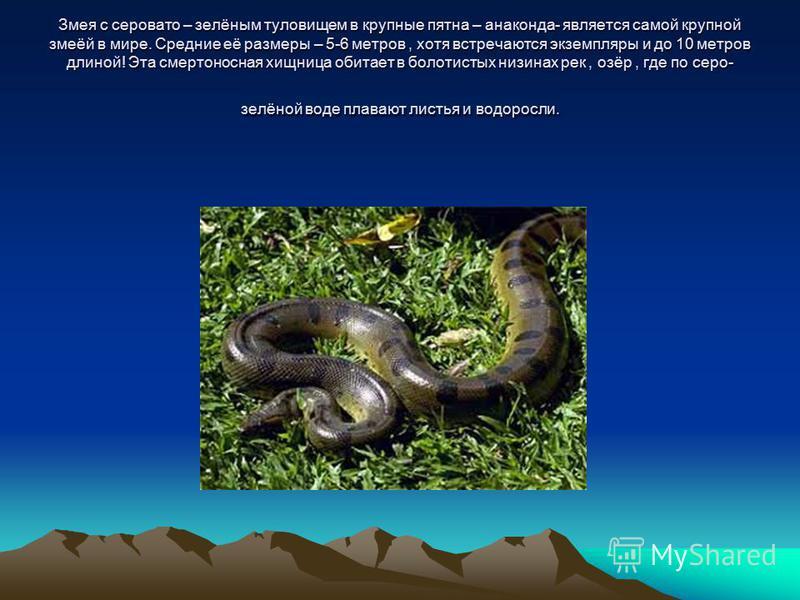 Змея с серовато – зелёным туловищем в крупные пятна – анаконда- является самой крупной змеёй в мире. Средние её размеры – 5-6 метров, хотя встречаются экземпляры и до 10 метров длиной! Эта смертоносная хищница обитает в болотистых низинах рек, озёр,