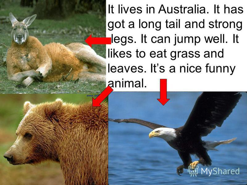 It lives in Australia. It has got a long tail and strong legs. It can jump well. It likes to eat grass and leaves. Its a nice funny animal.