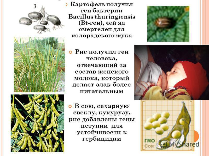 5 Картофель получил ген бактерии Bacillus thuringiensis (Bt-ген), чей яд смертелен для колорадского жука Рис получил ген человека, отвечающий за состав женского молока, который делает злак более питательным В сою, сахарную свеклу, кукурузу, рис добав