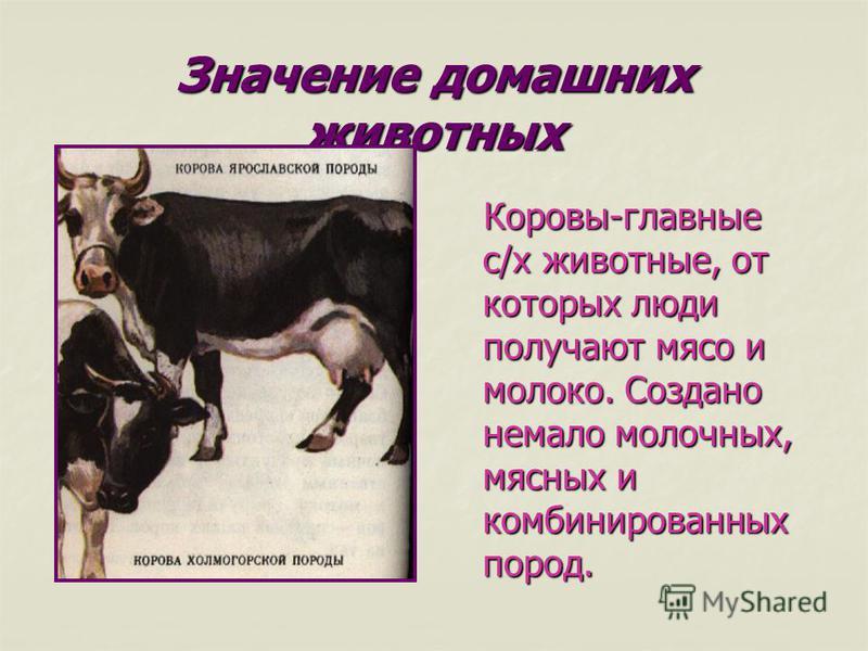 Значение домашних животных Коровы-главные с/х животные, от которых люди получают мясо и молоко. Создано немало молочных, мясных и комбинированных пород. Коровы-главные с/х животные, от которых люди получают мясо и молоко. Создано немало молочных, мяс