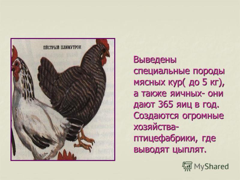 Выведены специальные породы мясных кур( до 5 кг), а также яичных- они дают 365 яиц в год. Создаются огромные хозяйства- птицефабрики, где выводят цыплят. Выведены специальные породы мясных кур( до 5 кг), а также яичных- они дают 365 яиц в год. Создаю