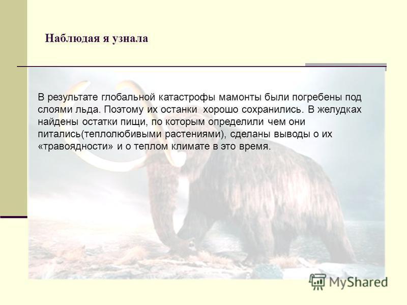Наблюдая я узнала В результате глобальной катастрофы мамонты были погребены под слоями льда. Поэтому их останки хорошо сохранились. В желудках найдены остатки пищи, по которым определили чем они питались(теплолюбивыми растениями), сделаны выводы о их