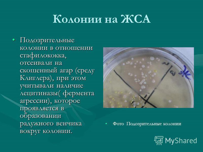 Колонии на ЖСА Подозрительные колонии в отношении стафилококка, отсеивали на скошенный агар (среду Клиглера), при этом учитывали наличие лецитиназы( фермента агрессии), которое проявляется в образовании радужного венчика вокруг колонии.Подозрительные