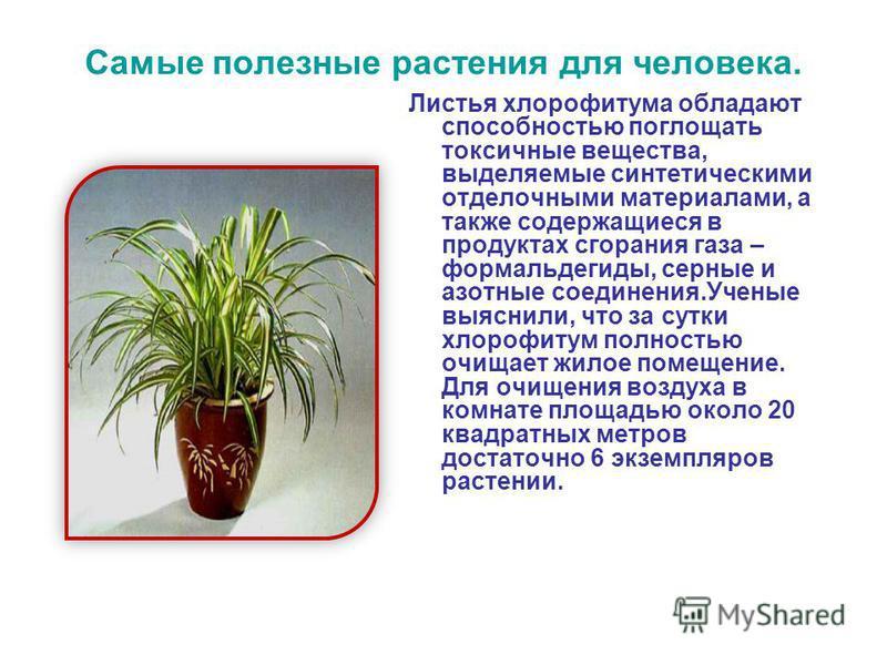 Самые полезные растения для человека. Листья хлорофитума обладают способностью поглощать токсичные вещества, выделяемые синтетическими отделочными материалами, а также содержащиеся в продуктах сгорания газа – формальдегиды, серные и азотные соединени
