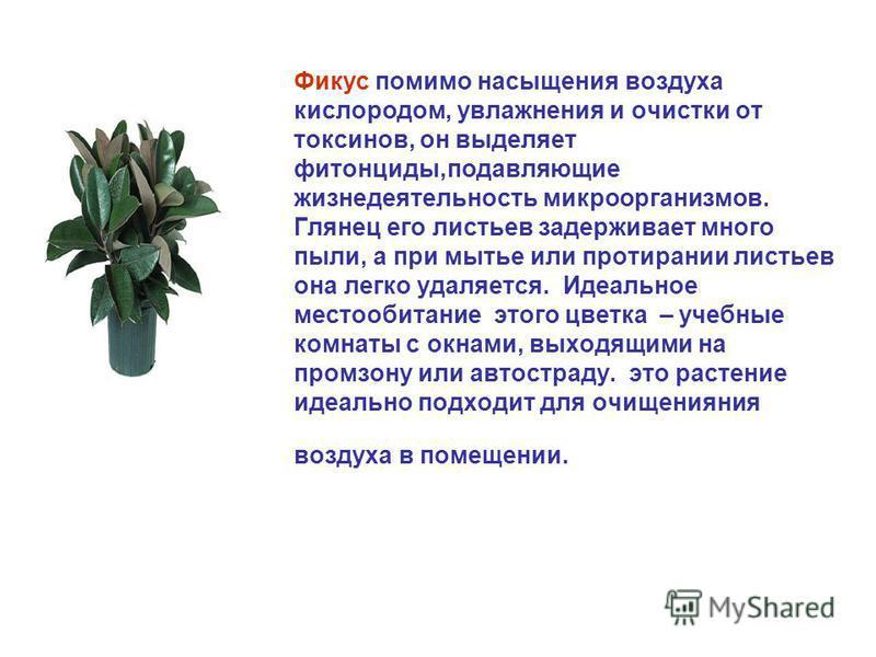 Фикус помимо насыщения воздуха кислородом, увлажнения и очистки от токсинов, он выделяет фитонциды,подавляющие жизнедеятельность микроорганизмов. Глянец его листьев задерживает много пыли, а при мытье или протирании листьев она легко удаляется. Идеал
