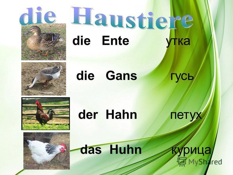 die Ente утка die Gans гусь der Hahn петух das Huhn курица