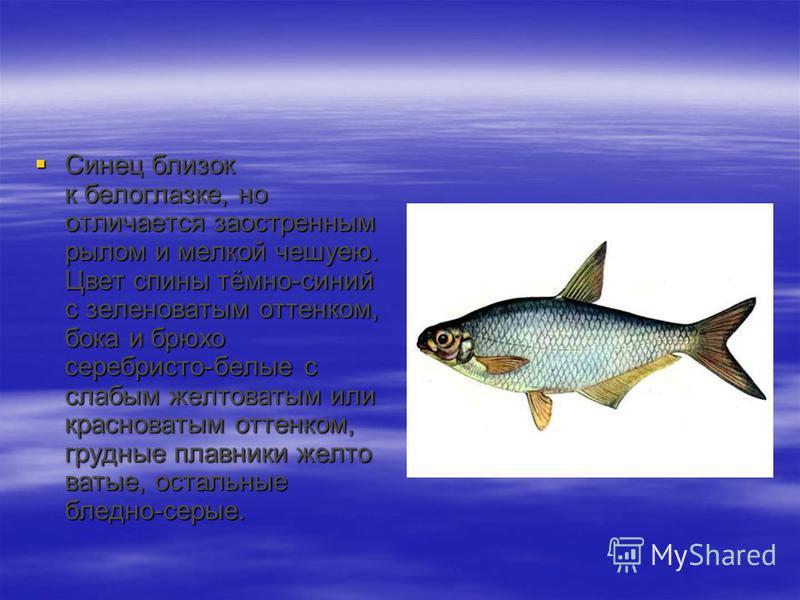 Синец близок к белоглазке, но отличается заостренным рылом и мелкой чешуею. Цвет спины тёмно-синий с зеленоватым оттенком, бока и брюхо серебристо-белые с слабым желтоватым или красноватым оттенком, грудные плавники желтоватые, остальные бледно-серые