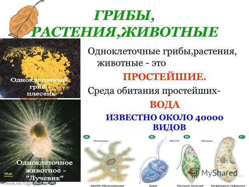 FokinaLida.75@mail.ru Буга Ю.В.7 ГРИБЫ, РАСТЕНИЯ,ЖИВОТНЫЕ Одноклеточные грибы,растения, животные - это ПРОСТЕЙШИЕ. Среда обитания простейших- ВОДА ИЗВЕСТНО ОКОЛО 40000 ВИДОВ