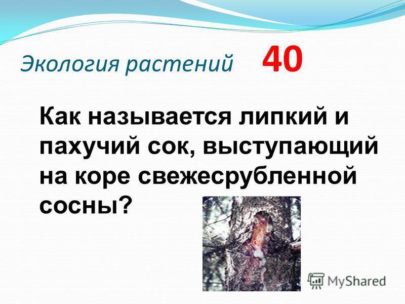 Экология растений 40 Как называется липкий и пахучий сок, выступающий на коре свежесрубленной сосны?