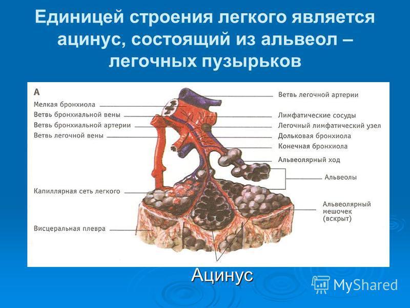 Единицей строения легкого является ацинус, состоящий из альвеол – легочных пузырьков Ацинус Ацинус
