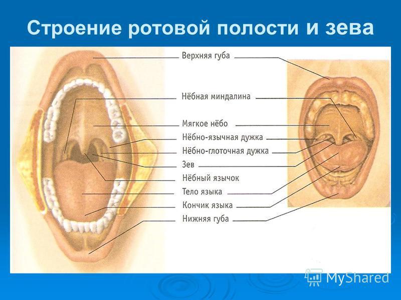 Строение ротовой полости и зева