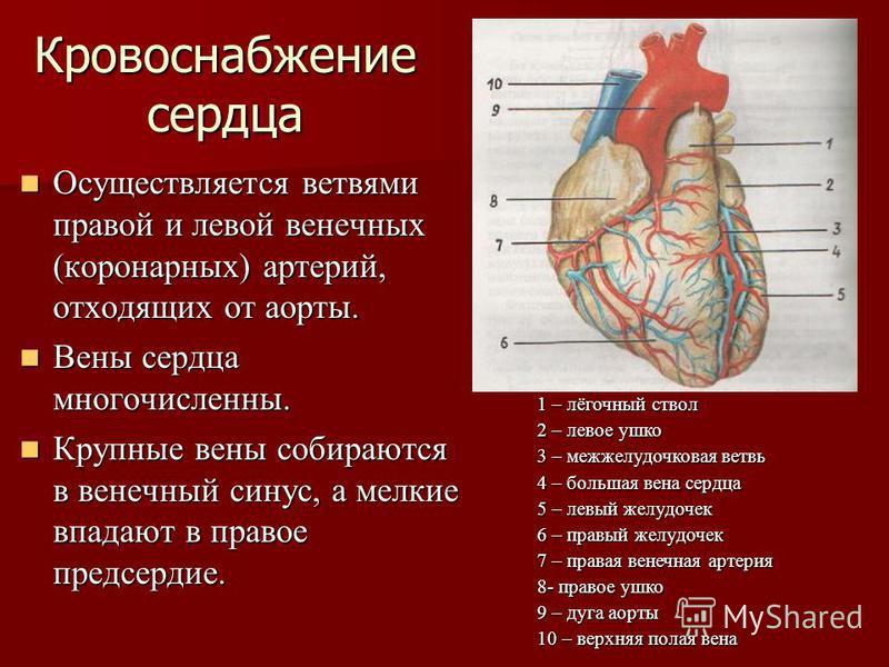 Кровоснабжение сердца Осуществляется ветвями правой и левой венечных (коронарных) артерий, отходящих от аорты. Осуществляется ветвями правой и левой венечных (коронарных) артерий, отходящих от аорты. Вены сердца многочисленны. Вены сердца многочислен
