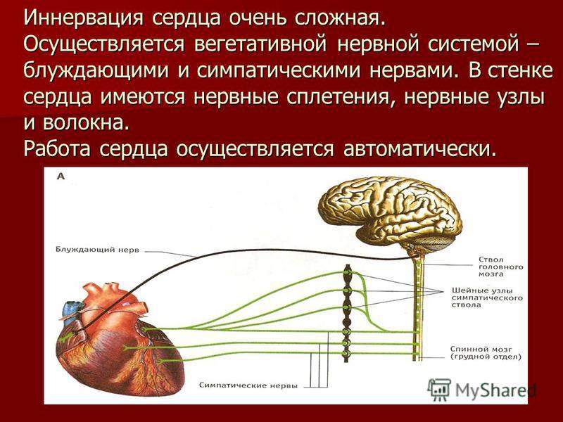 Иннервация сердца очень сложная. Осуществляется вегетативной нервной системой – блуждающими и симпатическими нервами. В стенке сердца имеются нервные сплетения, нервные узлы и волокна. Работа сердца осуществляется автоматически.