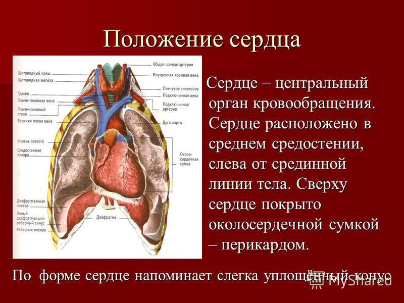 Положение сердца Сердце – центральный орган кровообращения. Сердце расположено в среднем средостении, слева от срединной линии тела. Сверху сердце покрыто околосердечной сумкой – перикардом. Сердце – центральный орган кровообращения. Сердце расположе