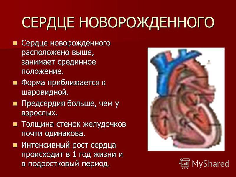 СЕРДЦЕ НОВОРОЖДЕННОГО Сердце новорожденного расположено выше, занимает срединное положение. Сердце новорожденного расположено выше, занимает срединное положение. Форма приближается к шаровидной. Форма приближается к шаровидной. Предсердия больше, чем