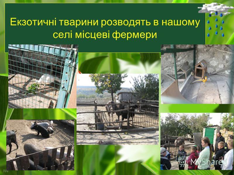 Екзотичні тварини розводять в нашому селі місцеві фермери