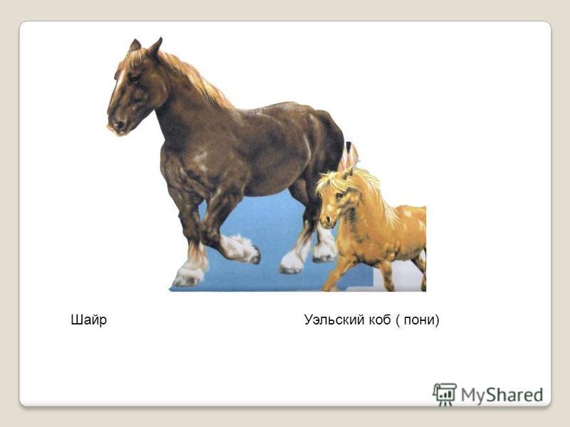 Шайр Уэльский коб ( пони)