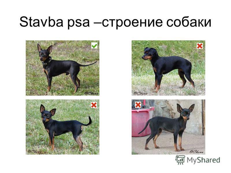Stavba psa –строение собаки