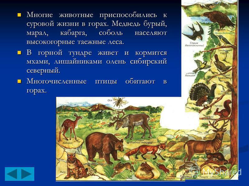 Многие животные приспособились к суровой жизни в горах. Медведь бурый, марал, кабарга, соболь населяют высокогорные таежные леса. Многие животные приспособились к суровой жизни в горах. Медведь бурый, марал, кабарга, соболь населяют высокогорные таеж