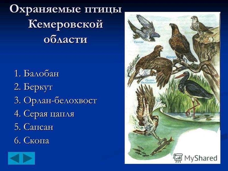 Охраняемые птицы Кемеровской области 1. Балобан 2. Беркут 3. Орлан-белохвост 4. Серая цапля 5. Сапсан 6. Скопа