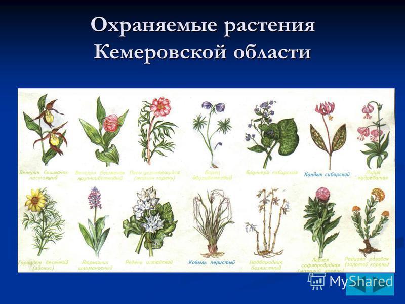 Охраняемые растения Кемеровской области