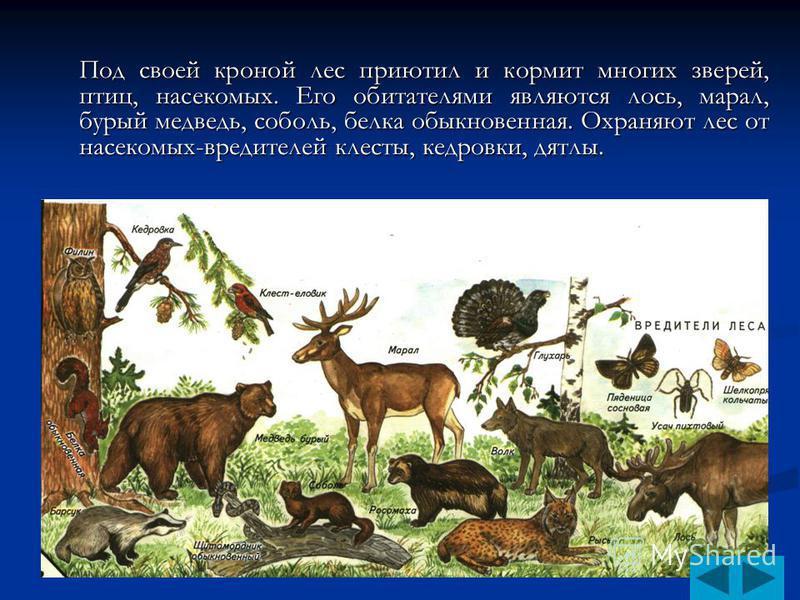 Под своей кроной лес приютил и кормит многих зверей, птиц, насекомых. Его обитателями являются лось, марал, бурый медведь, соболь, белка обыкновенная. Охраняют лес от насекомых-вредителей клесты, кедровки, дятлы.