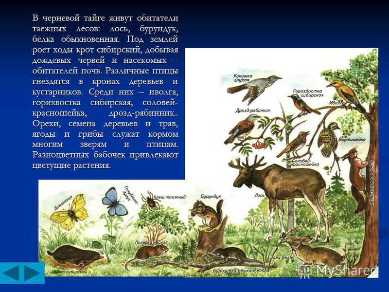 В черневой тайге живут обитатели таежных лесов: лось, бурундук, белка обыкновенная. Под землей роет ходы крот сибирский, добывая дождевых червей и насекомых – обитателей почв. Различные птицы гнездятся в кронах деревьев и кустарников. Среди них – иво