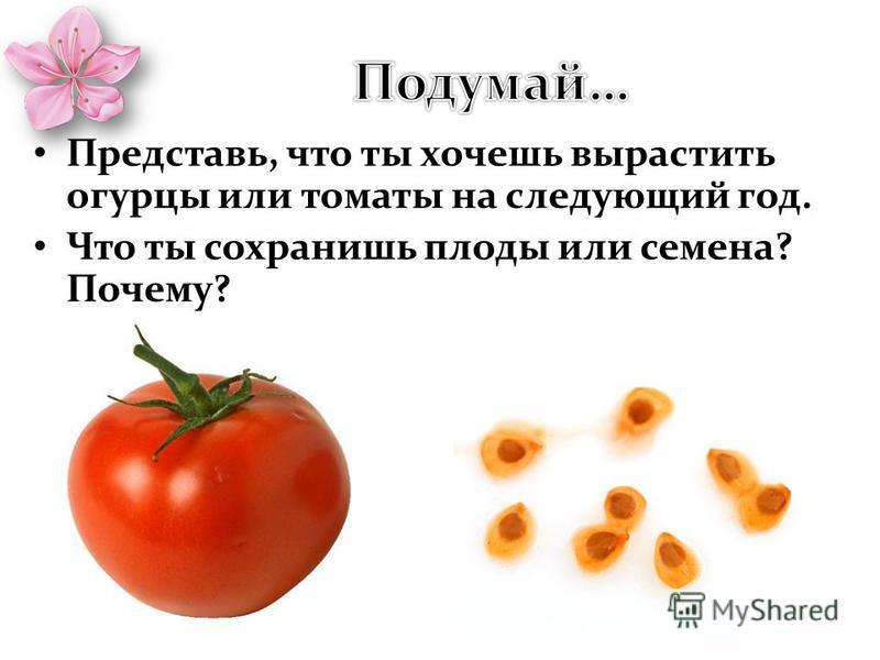 Представь, что ты хочешь вырастить огурцы или томаты на следующий год. Что ты сохранишь плоды или семена? Почему?