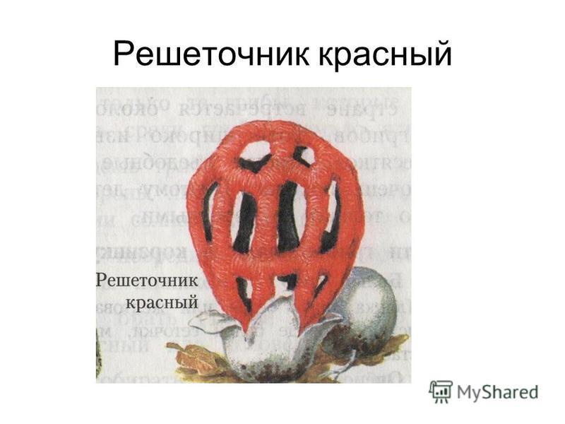Решеточник красный