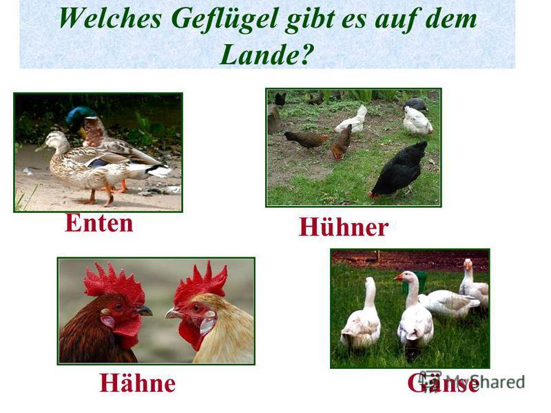 Welches Geflügel gibt es auf dem Lande? Enten Hühner HähneGänse