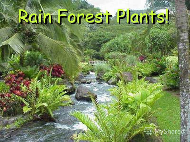 Rain Forest Plants! Rain Forest Plants!