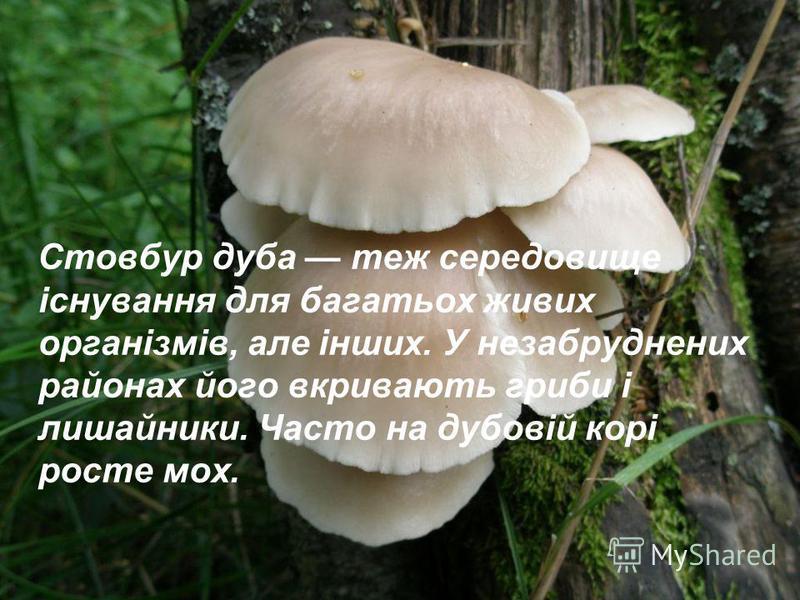 Стовбур дуба теж середовище існування для багатьох живих організмів, але інших. У незабруднених районах його вкривають гриби і лишайники. Часто на дубовій корі росте мох.