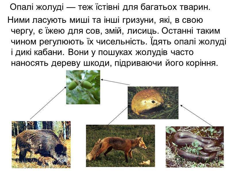 Опалі жолуді теж їстівні для багатьох тварин. Ними ласують миші та інші гризуни, які, в свою чергу, є їжею для сов, змій, лисиць. Останні таким чином регулюють їх чисельність. Їдять опалі жолуді і дикі кабани. Вони у пошуках жолудів часто наносять де