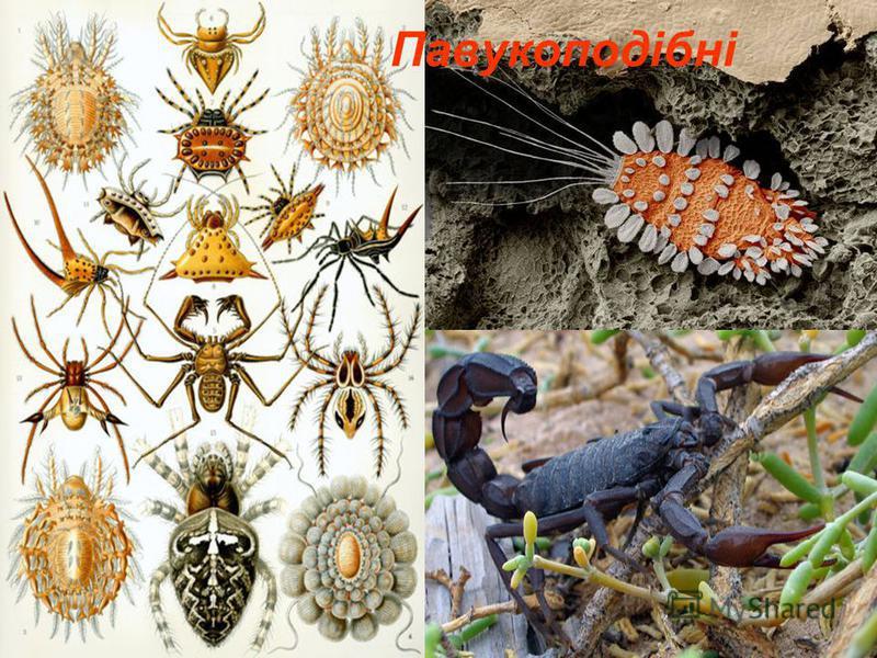 Павукоподібні