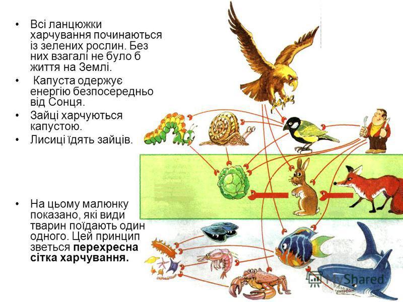 Всі ланцюжки харчування починаються із зелених рослин. Без них взагалі не було б життя на Землі. Капуста одержує енергію безпосередньо від Сонця. Зайці харчуються капустою. Лисиці їдять зайців. На цьому малюнку показано, які види тварин поїдають один