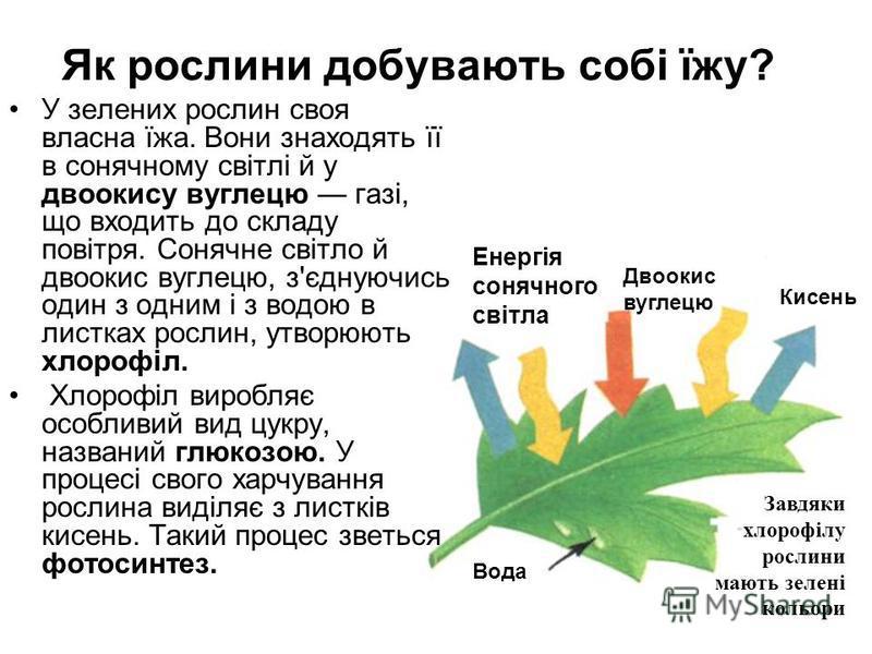 Як рослини добувають собі їжу? У зелених рослин своя власна їжа. Вони знаходять її в сонячному світлі й у двоокису вуглецю газі, що входить до складу повітря. Сонячне світло й двоокис вуглецю, з'єднуючись один з одним і з водою в листках рослин, утво